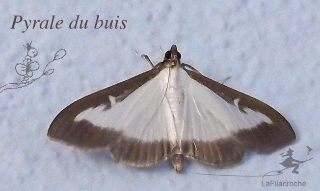 Papillon pyrale du buis la filacroche - Invasion papillon de nuit ...