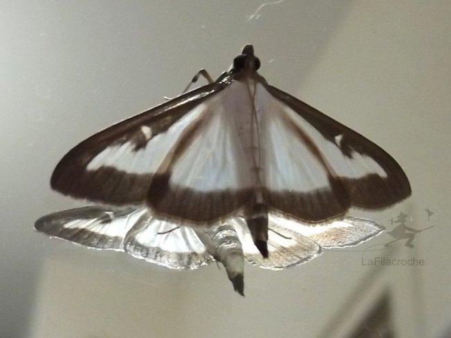 Papillon pyrale du buis la filacroche for Miroir mon beau miroir dis moi